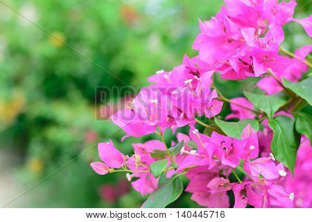 Beautiful magenta bougainvillea flowers (Bougainvillea sp) close up