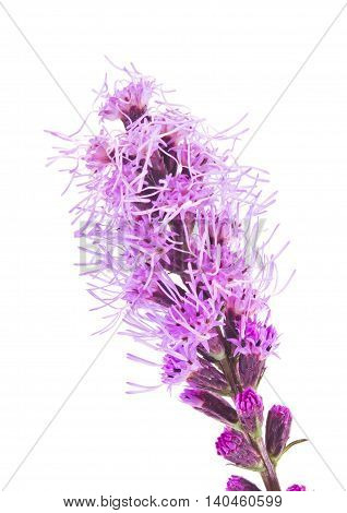 Flower a Liatris is isolated on a white background