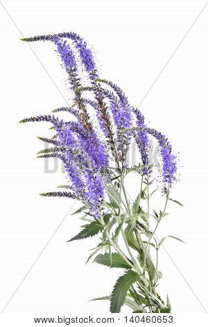 Garden flower Veronica longifolia by close-up on a white background