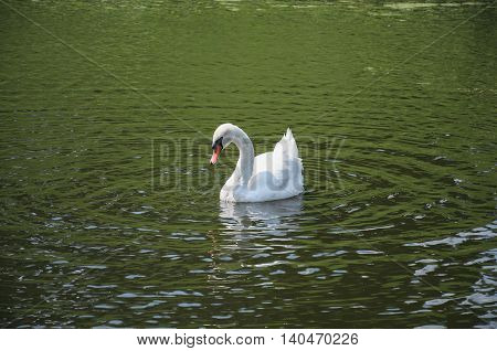 White swan on the river Orlik. Orel city