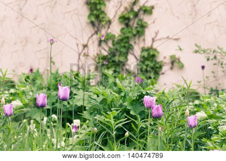 Slightly toned image of tulips in a garden with ivy covered wall.
