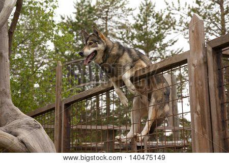 Husky farm. Dog sitting on the fence. Finland