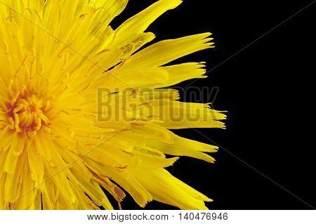 Closeup Yellow Poisonous Wildflower On Black As Sonchus Arvensis