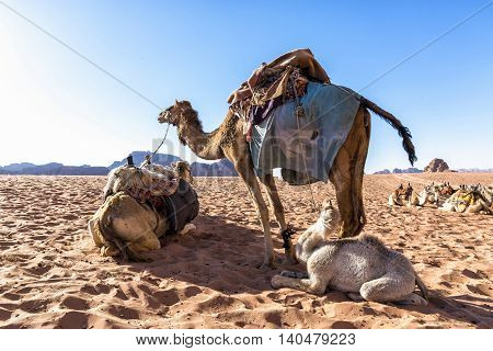 Dromedary camels in Wadi Rum desert, Jordan. The dromedary, also called the Arabian camel, is a large, even-toed ungulate with one hump on its back. It is one of the three species of camel existing.