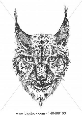 Head of beautiful lynx. Black and white illustration with head of wild cat with bared teeth. Hand drawn sketch. Ink painting. Design element useful for print for t-shirt.
