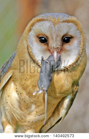Barn Owl with mouse in beak, portrait close up