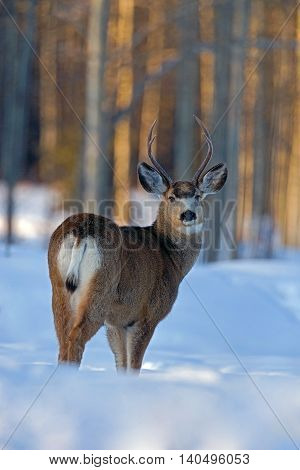 Mule Deer Buck standing in deep snow at edge of forest