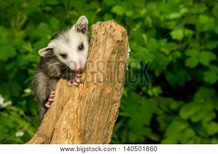 A baby Opossum climbing in the woods.