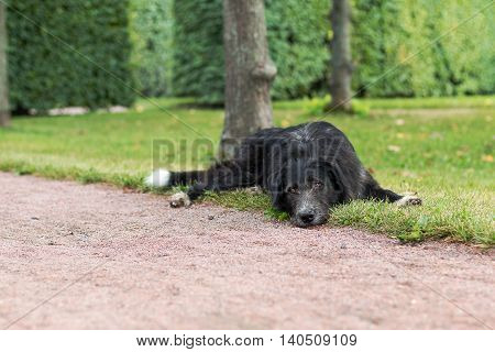 Lonely black dog with sad eyes is laying and waiting someone in the park