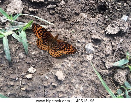 great spangled fritillary, Speyeria cybele on bare ground, poster