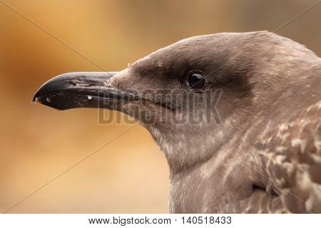 A portrait of a juvenile Western Gull in coastal California