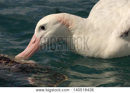 A Wandering Albatross feeding in the Pacific Ocean off the coast of New Zealand.