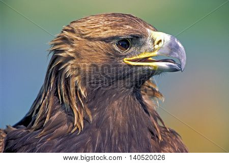 Head of mature Golden Eagle, watching, close up