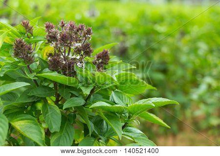Thai basil (Ocimum basilicum) or sweet basil plant.