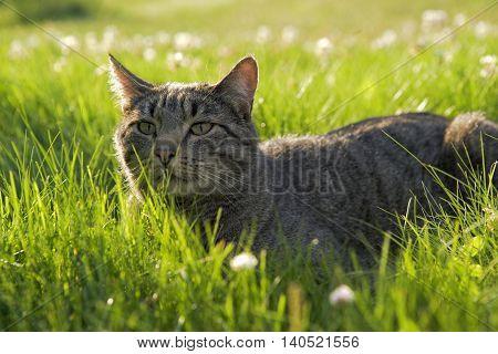Tabby Tomcat lying in high grass, hunting