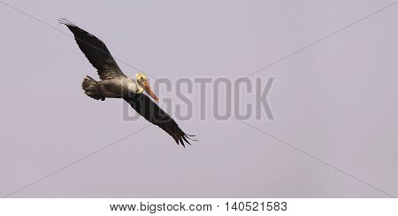 A Brown Pelican flying with its wings fully extended above the Pacific Ocean in California.