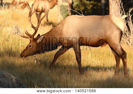 An Elk bull moving low in a Colorado forest.