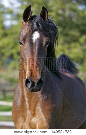 Bay Arabian Mare trotting in field portrait closeup