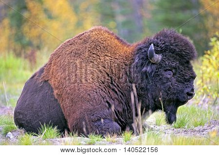 Portrait of Wood Bison Bull resting in meadow Yukon Territory Canada