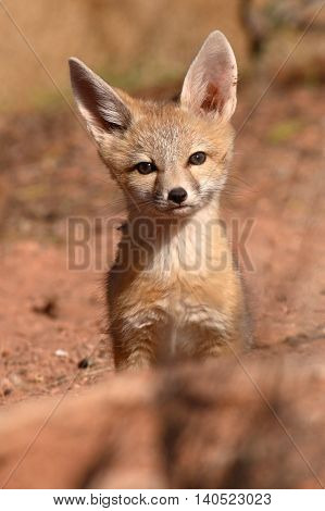 Kit Fox Pup Alone And Curious Outside Its Den In Utah.