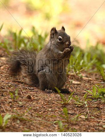 An Abert's Squirrel feeding on the forest floor.