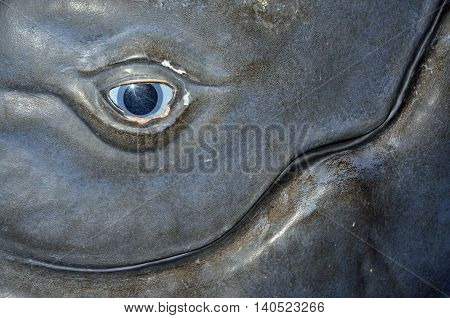 Close up of eye on a whale replica