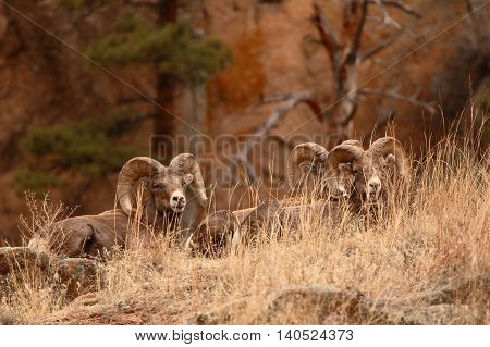 A Band Of Bighorn Rams On An Autumn Hillside In Colorado