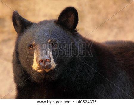 A portrait of a large black bear in Arizona.