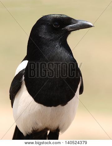 Black-billed Magpie Posing Boldly Like An Eagle