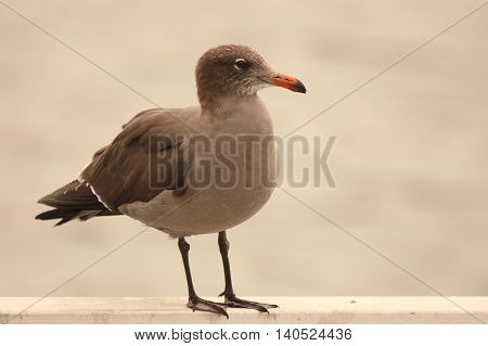 A Heerman's Gull At Rest Along The Pacific Ocean in Winter
