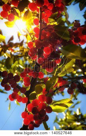 Flathead Lake pie cherries ripening on a sunlit tree