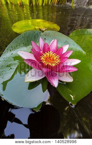 Pink Water Lily flowers in bloom with lilypad in garden backyard pond closeup