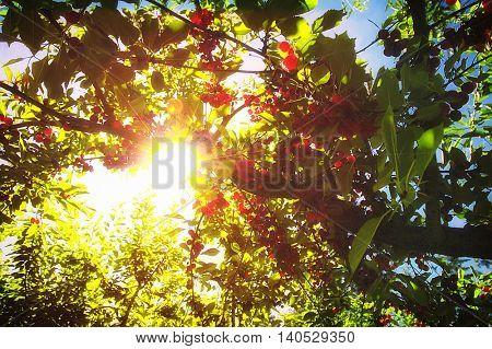 Cherry trees full of ripe fruit glistening in the summer sunlight