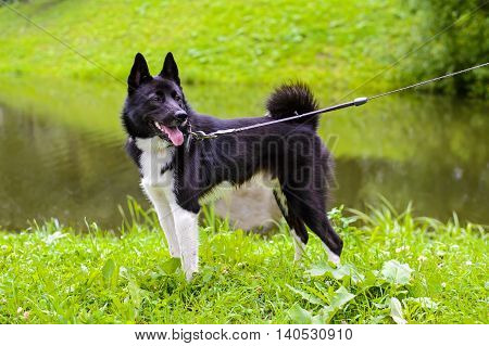 Russian - European Laika is hunting dog for hunting wild fowl and animals. Husky dog standing on meadow. Exhibition Stand dogs. Beautiful dog on a walk.