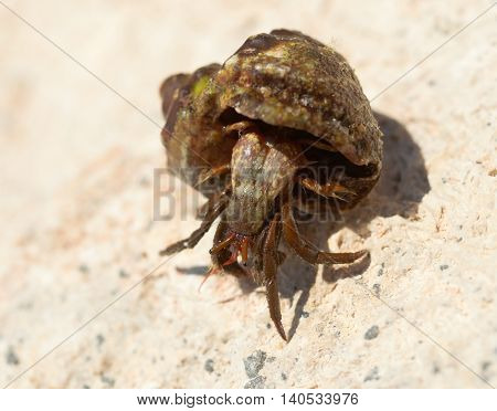 the big hermit crab on stones in summer poster