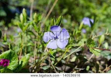 great Immergruen Vinca major blossoming in a garden in the summer