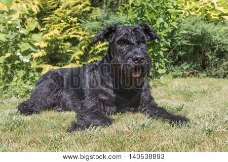 Portrait of the Giant Black Schnauzer dog lying on the lawn and looking at the camera.