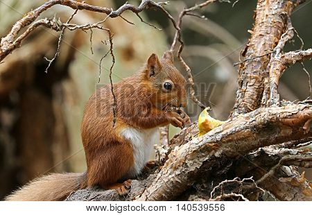 An American Red squirrel at Cap Tourmente National Wildlife Area