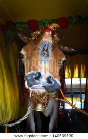 Unique cow with two mouths and three horns kept for worshiping in Kathmandu Nepal.