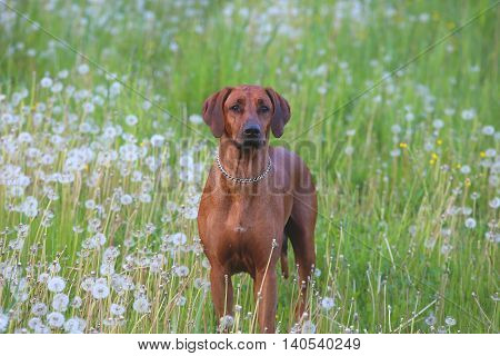 The purebread hunting dog standing in the meadow