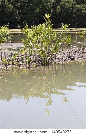 mangrove tree small in vietnam at lake
