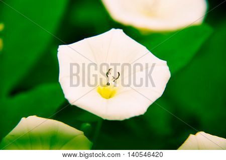 Beautiful White Convolvulus Flowers In A Garden