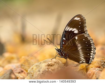 Closeup macro of butterfly eating food in jungle the beauty of nature. (selective focus)