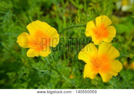Eschscholzia Against Green Grass Background. Californica, California Poppy