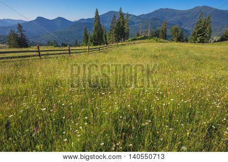 The alpine fields grow beautiful spring wild daffodils