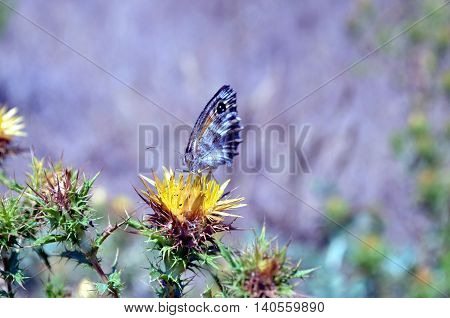 yellow thistle flowers with butterfly closeup shot