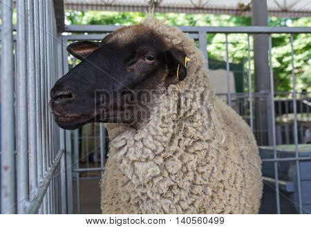 Fluffy sheep remains in the pen. Agriculture poster