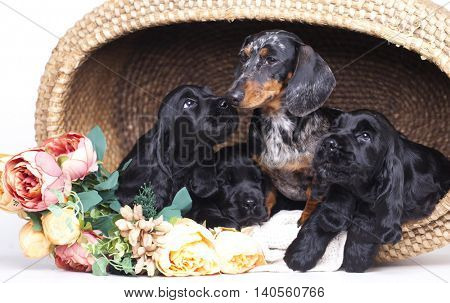 English Cocker spaniel puppies and dachshund dog