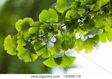 Ginkgo biloba green leaves on a tree in Yonghe Lamasery Beijing China.