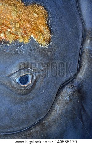 Close up of a whale replica's and face that includes barnacles